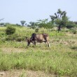 Indian cow grazes at the meadow — Stock Photo #47107325