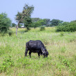 Indian cow grazes at the meadow  — Stock Photo #47107723