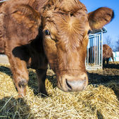 Vriendelijke vee op stro — Stockfoto