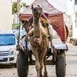 Постер, плакат: Camel taxi in Pushkar