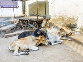 Cows resting in the midday heat at the street  — Stock Photo