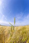 Spica de trigo no campo de milho — Fotografia Stock