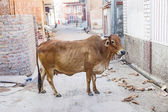 Sacred Cow in India feeding on garbage  — Stok fotoğraf