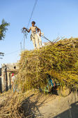 Men load the straw on the tractor after harvest — Stok fotoğraf