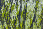Green reed in the river  — Stock Photo
