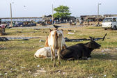 Cows resting at the beach of negombo, Sri Lanka — 图库照片