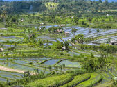 Rice paddies in Bali Indonesia  — Stock Photo