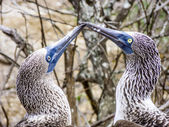 Close up of blue footed booby at Galapagos island of North Seymo — Stock Photo