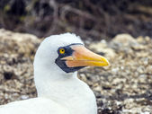 Close up of  masked Boobie at Galapagos island of North Seymour  — Stock Photo