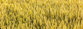 Field of corn for the harvest  — Stock Photo