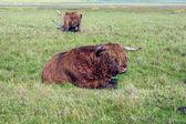 Bovins galloway, debout dans la prairie — Photo