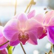 Pink orchid branch — Stock Photo #50431531