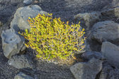 Sparse vegetation at volcanic stones — Stock Photo
