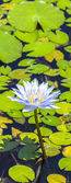 Beautiful Pink Lotus, water plant in a pond  — Stock Photo