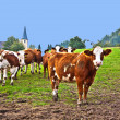 Friendly cattles on green granzing land are trusty — Stock Photo #5543134