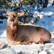Elk resting - Stock Photo