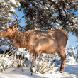 Female elk - Stock Photo