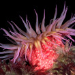 Red sea anemone - Stock Photo
