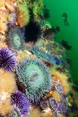 анемоны на риф — Стоковое фото