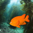 Garibaldo swimming through kelp — Stock Photo