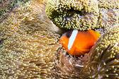 Orange clownfish — Stock Photo