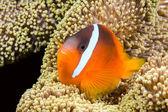 Playful orange clownfish — Stock Photo