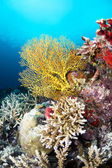 Tropical yellow sea fan — Stock Photo