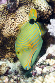 Green triggerfish — Stock Photo