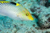 Colorful wrasse — Stock Photo