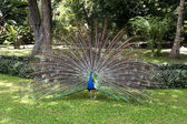 Peacock displaying feathers — Stock Photo