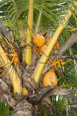 Dwarf coconut tree — Stock Photo