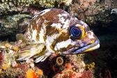 Copper rockfish — Stock Photo