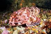 Cabezon Fish — Stock Photo