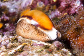 Cowry snail — Stock Photo