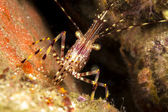 California shrimp — Stock Photo