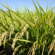 Rice field — Stock Photo #13383712