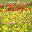 Tulips and rape blossoms — Stock Photo #24080221