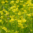 Small yellow wild flowers — Stock Photo