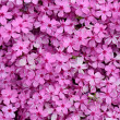 Moss phlox  — Stock Photo