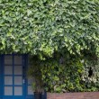 Ivy and door — Stock Photo