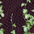 Stock Photo: Morning glory vine