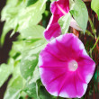 Stock Photo: Morning glory flower
