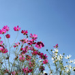Cosmos flowers against blue sky  — Stock Photo