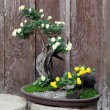 Bonsai flower and tree — 图库照片