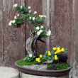 Bonsai flower and tree — Stok fotoğraf