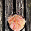Fall leaf — Stock Photo