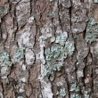 Pine tree surface — Stock Photo