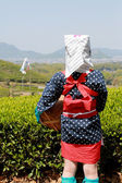 Young japanese tea picker — Stock Photo