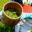 Harvesting green tea leaves — Foto Stock
