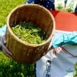 Harvesting green tea leaves — Stockfoto
